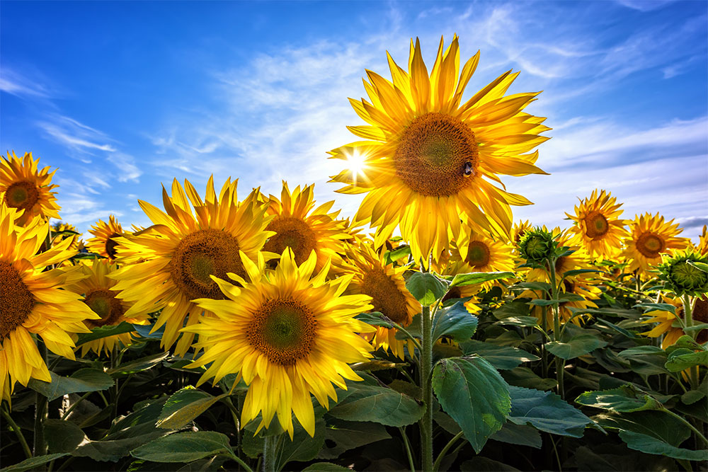 sunflowers bumblebees irish landscape photographer